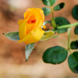Yellow rose — Stock Photo #2693982