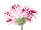 Pink Gerbera Flower from the Back — Stock Photo