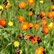 Stock Photo: Devils Brush - Orange Flowers