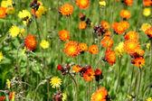 Devils Brush - Orange Flowers — Stock Photo