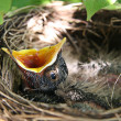 Baby Robin in birds nest with mouth open - Stock Photo