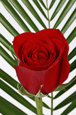 Red rose with leaves in background — Stock Photo