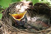 Baby Robin in birds nest with mouth open — Stockfoto