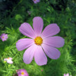 Flower COSMOS (Yo-to-to-wi) in garden — Stock Photo #2550279