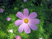 Flower COSMOS (Yo-to-to-wi) in a garden — Stock Photo
