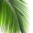 Leaves of palm tree — Stock Photo #1867479