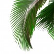 Leaves of palm tree — Stock Photo #1867510