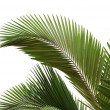 Leaves of palm tree - 图库照片