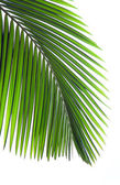 Leaves of palm tree — Stock Photo
