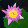 Royalty-Free Stock Photo: Waterlily