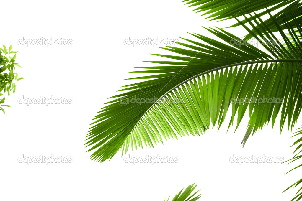 Leaves of palm tree with waterdrop isolated on white background — Photo #1879160