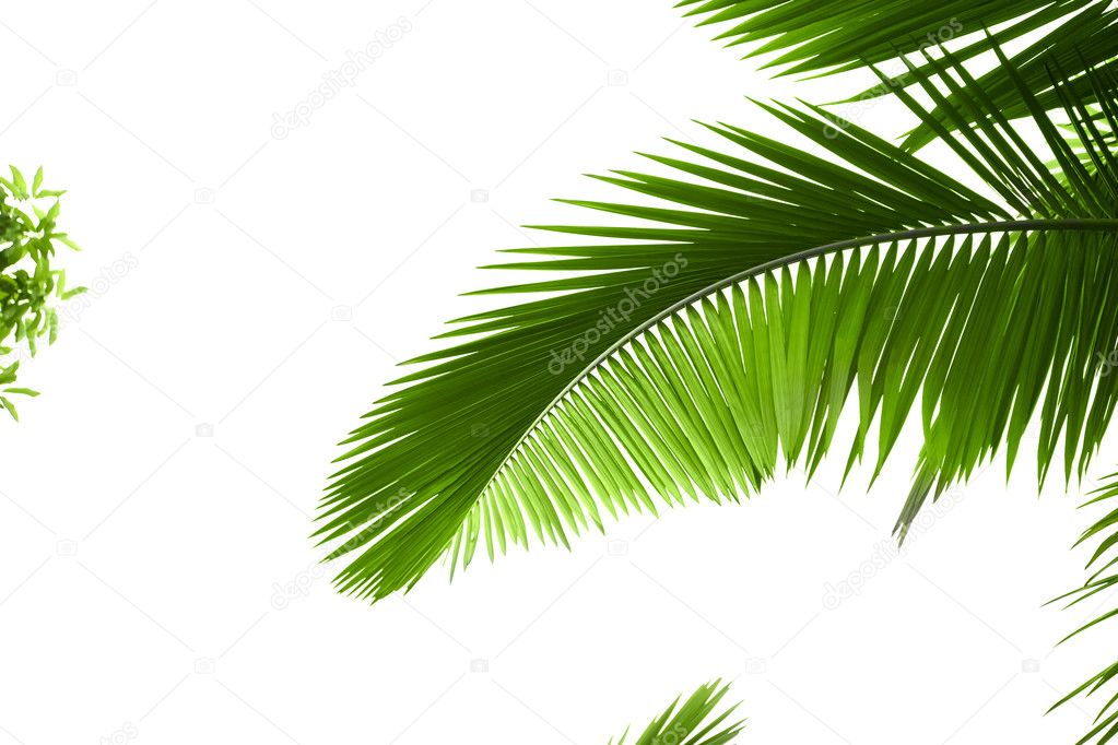 Leaves of palm tree with waterdrop isolated on white background — Foto Stock #1879160