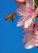 Flying honeybee — Stock Photo