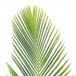 Leaves of palm tree — Stock Photo #2306388