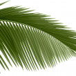Leaves of palm tree — Stock Photo #2336040