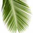 Leaves of palm tree — Stock Photo #2526506
