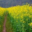 Foto Stock: Road through field of Oilseed Rape