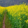 Stock Photo: Road through field of Oilseed Rape