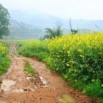 Road through field of Oilseed Rape — Stock Photo