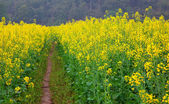 Road through field of Oilseed Rape — Stock Photo