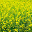 Stock Photo: Yellow oilseed rape scenery