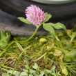 Flower clover — Stock Photo