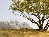 Lonely pistachio tree — Stock Photo