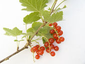 Branch of a red currant — Stock Photo