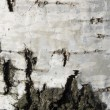 Texture from a birch bark - Stock Photo