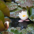 Water-lily — Stock Photo #1874516