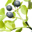 Stock Photo: Wild bilberry