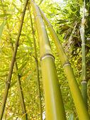 Arvoredo de bambu — Fotografia Stock
