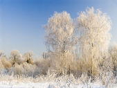 Two birches in hoarfrost — Stock Photo