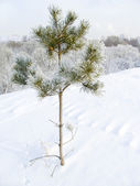 Lonely pine — Stock Photo