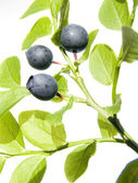 Wild bilberry — Stock Photo