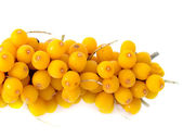 Branch of a berry of sea-buckthorn — Stock Photo