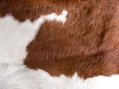 Real cow skin texture — Stock Photo