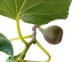 Branch of a fig — Stock Photo