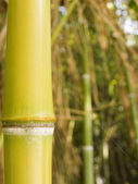 Stalk of a bamboo tree — Stock Photo