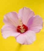Pink flower mallow — Stock Photo