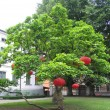 Red lanterns on a green tree — Stock Photo
