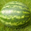 Green water-melon — Stock Photo