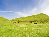 Cows on a pasture — Stock Photo