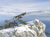 Rock with a lonely pine in mountains — Stock Photo