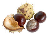Great English Conker (Horse Chestnut) — Stock Photo