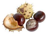 Great English Conker (Horse Chestnut) — Stock Photo