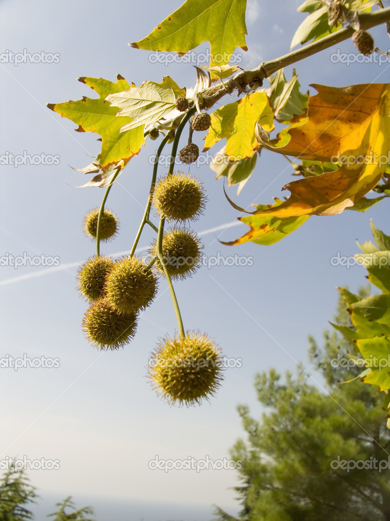 Freakish prickly round fruits of an autumn tree on a background of the sky — Stock Photo #2030788