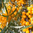 Fruits of sea-buckthorn berries — Stock Photo