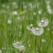 Dandelion — Photo #1871336