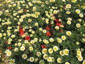 Daisy and poppy field — Stock Photo